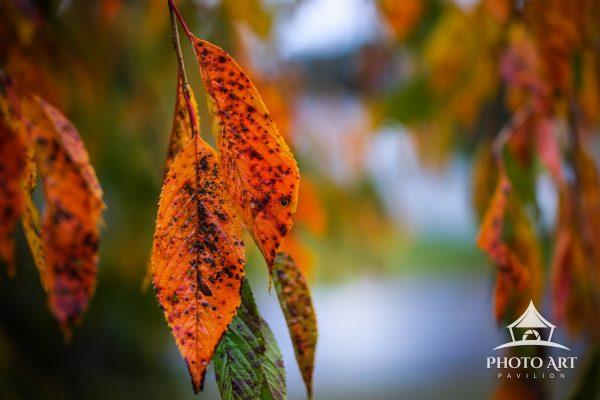 Bright and colorful autumn leaves hang in the rain. Long Island, NY. Color Photograph.