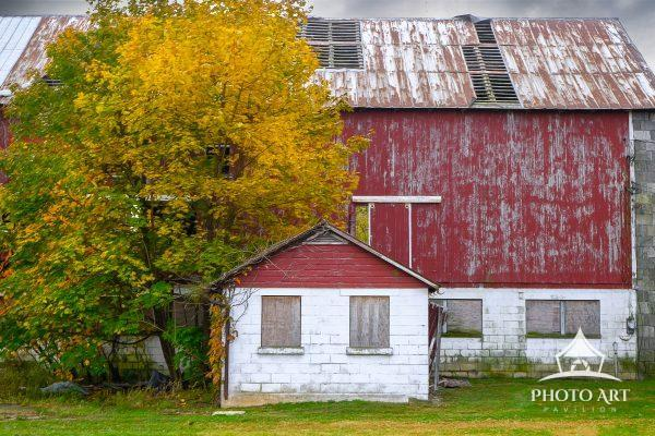 Wonderful old roadside barn with large tree just started to change to fall colors. Typical rural