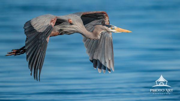 A great blue heron cruising by showing it's breeding plumage. Truly a majestic creature in flight.
