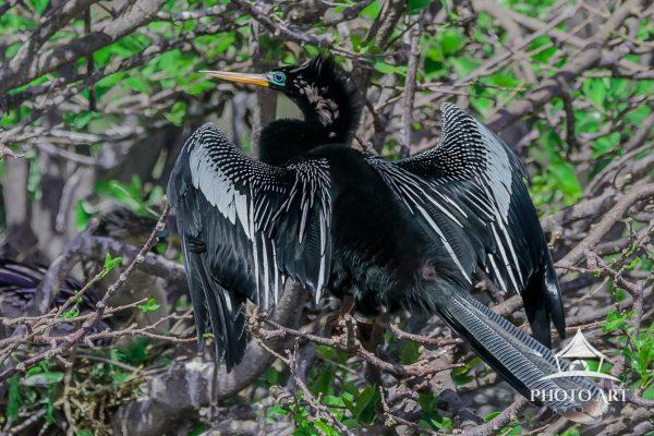 "A male Anhinga in full breeding plumage ""shows off"" to attract a mate."