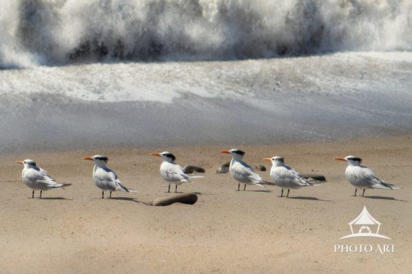 Wonderful little shorebirds along the coast of the Pacific Ocean in California, orange bills glowing