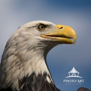 Ultra close-up of a mature Bald Eagle (Haliaeetus leucocephalus).