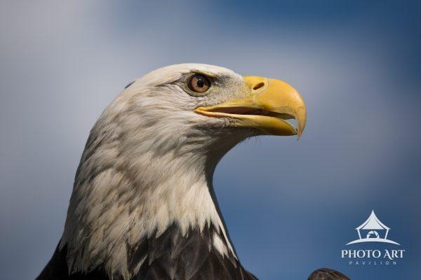 Ultra close-up of a mature Bald Eagle (Haliaeetus leucocephalus).