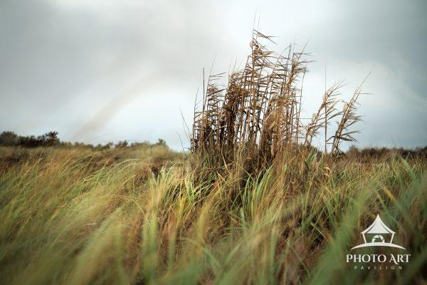 Beach grass and a cluster of phragmites along the shore near Heckscher State Park, along the south