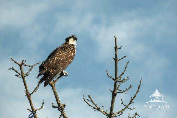 Wonderful Osprey perched along the top of a tree at Heckscher State Park. Beautiful wild shore bird