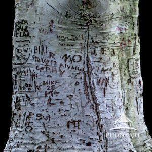 Have you ever carved your initials or lover's name in a tree, hopefully, to remain there for