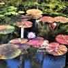 Water lilies at McKee Botanical Gardens