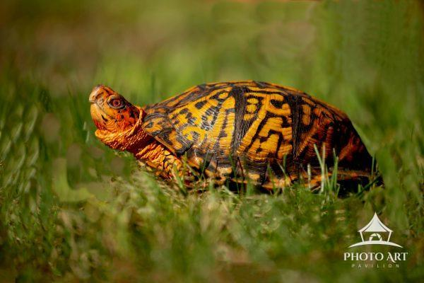 What luck to find this beautiful and very photogenic box turtles. Did you know the average life