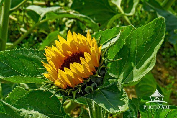 This fall bloom image was captured at the Waterdrinker Sunflower farm.