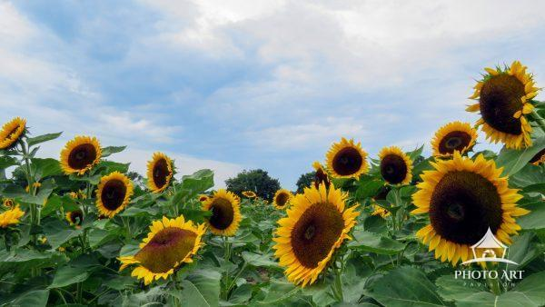 This summer bloom image was captured at the Rottkamp Sunflower farm.