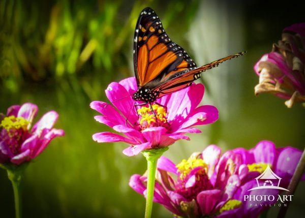 The flowers at the  beautiful Untermeyer Gardens attract many butterflies and bees.