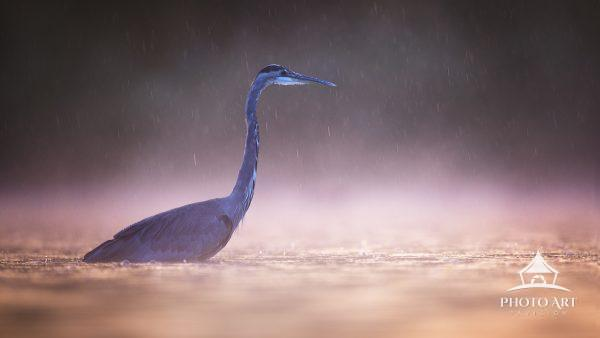 A heron fishes in the pond at Exton Park, Pennsylvania on a rainy morning in October.