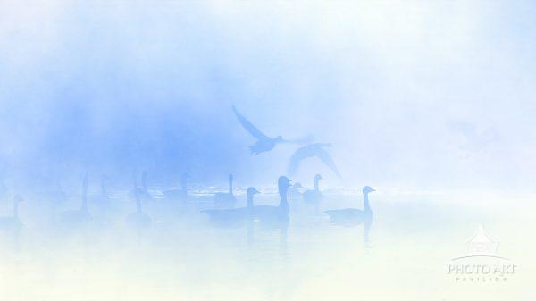 Geese in motion in early morning against a misty morning on the pond in Pennsylvania.