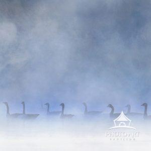 A line of geese against a blue misty morning scene on the pond at Exton, Pennsylvania.