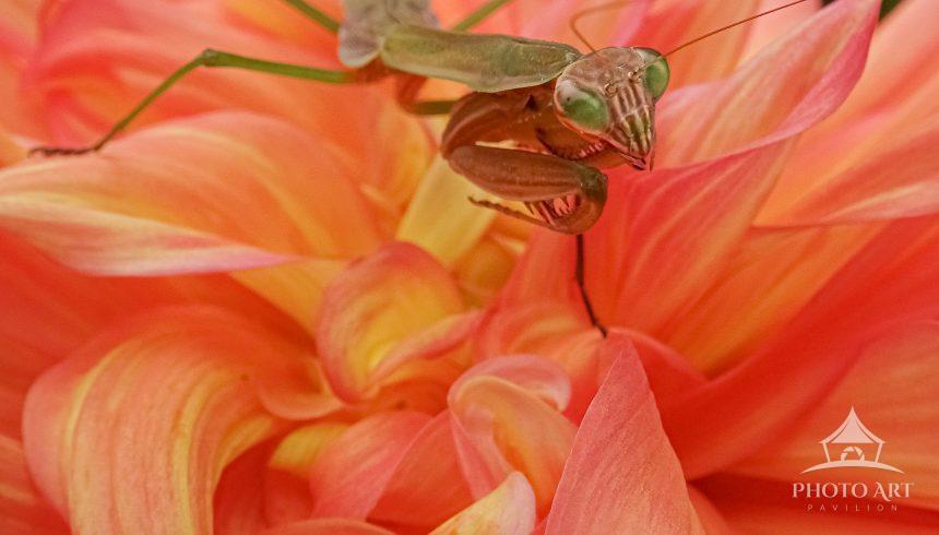A praying mantis balances on top of a blooming dahlia.