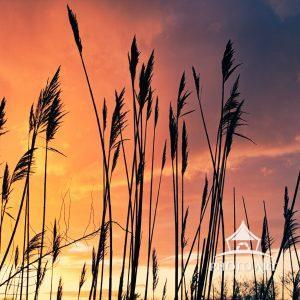 A colorful sunset takes place behind some reeds
