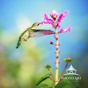 A ruby throated hummingbird feeds off a bright pink flower at the Hummingbird Sanctuary in Baiting