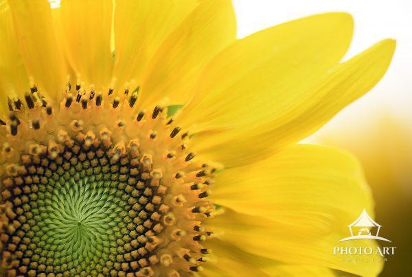 Beautiful Center and Petals of a Sunflower in Bloom