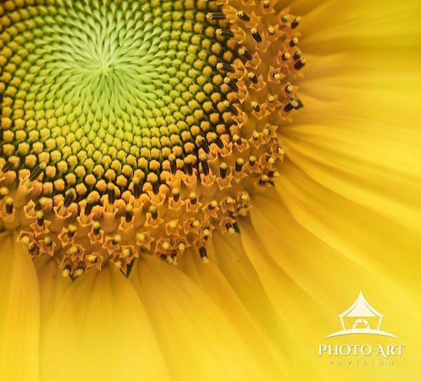 Close up of a Sunflower Center and Elegant Petals.