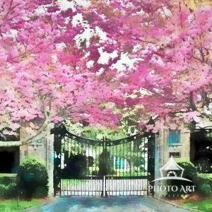 Spring cherry blossoms provide a colorful frame to the entrance of the 15 acre estate Villa Maria in