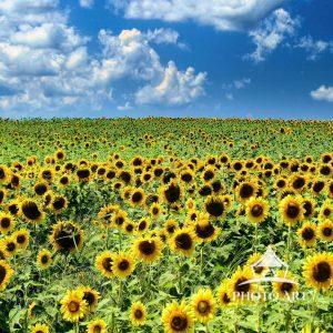 This beautiful field of sunflowers in Mattituck on Long Island's North fork does double duty. It