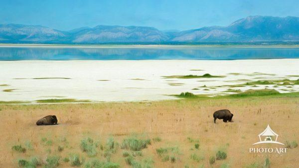 Digital painting of Bison & Mule Deer on Antelope Island, Utah