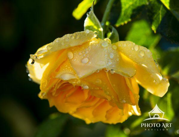 A yellow rose hangs heavy with dew and raindrops waiting for the sun's warmth to dry her petals.