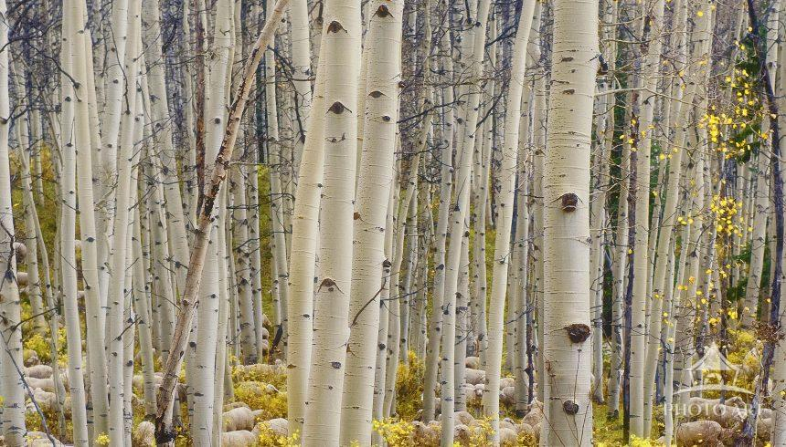 Watchdog tends to sheep among the aspen trees in Colorado