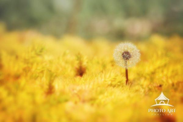 Lonely Dandelion in a field