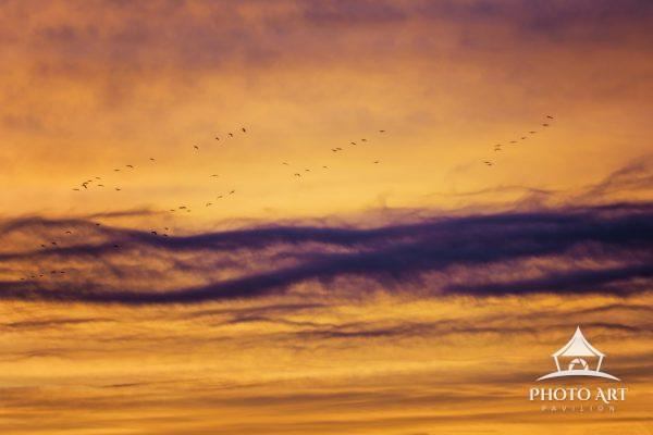 A deep orange sky with blue stripe and silhouettes of Snow Geese in flight at Bosque Del Apache