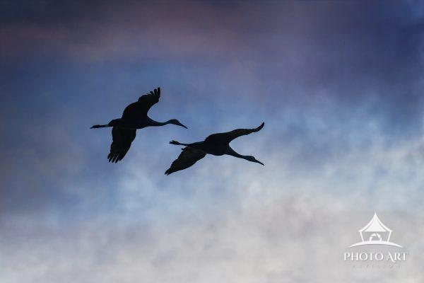 Two Sandhill Cranes in flight against clouds with texture at Bosque Del Apache, New Mexico in