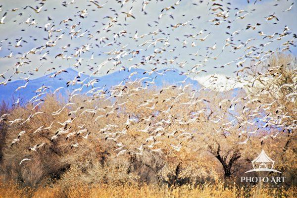 Snow geese in blurred motion against a stand of Cottonwood Trees at Bosque Del Apache National