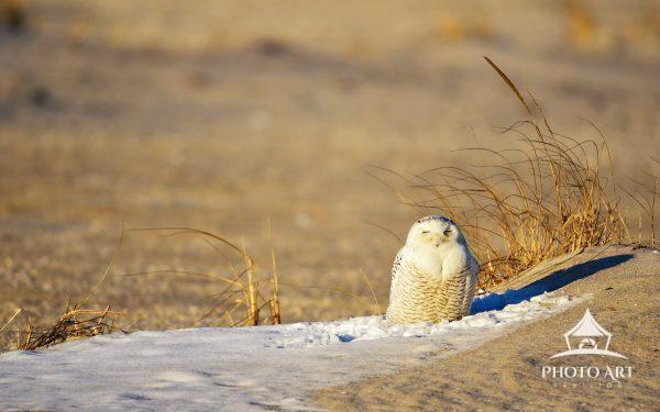 Sleepy Snow Owl