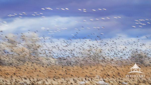 Panoramic layers of blurred birds in flight including blackbirds, snow geese and sandhill cranes at