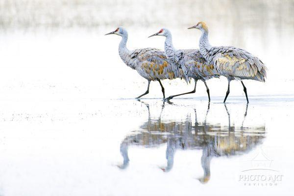 A family of Sandhill Cranes march together in a lake at Bosque Del Apache, New Mexico in winter.