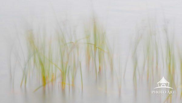 Serenity of Pond Grass flowing in the mist and wind.