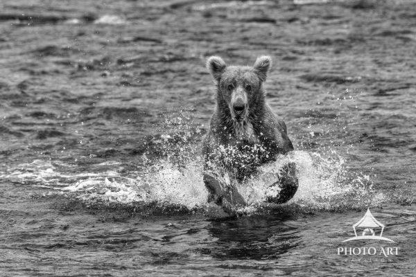 A Grizzly Bear chases Salmon in the Katmai River