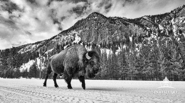 A large Bison chooses a path of least resistance and walks down the packed powder winter roads of
