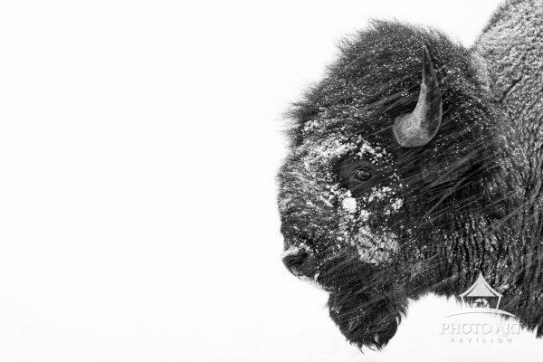 A Large Bison faces a winter storm head on in white out conditions.