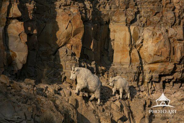 Mountain Goats traverse the edge of a rocky cliff together.