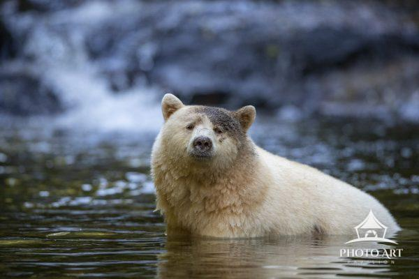 With special permission, I got the opportunity to photograph a Spirit Bear from within the river it