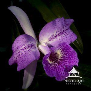 Semi Alba Orchid portrait