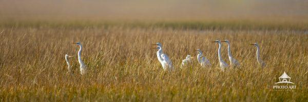A group of Great White Egrets & a two guest Snowy Egrets chill toghether in the wetlands. Except