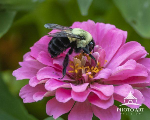 A Bee working thru the garden gathering nectar.