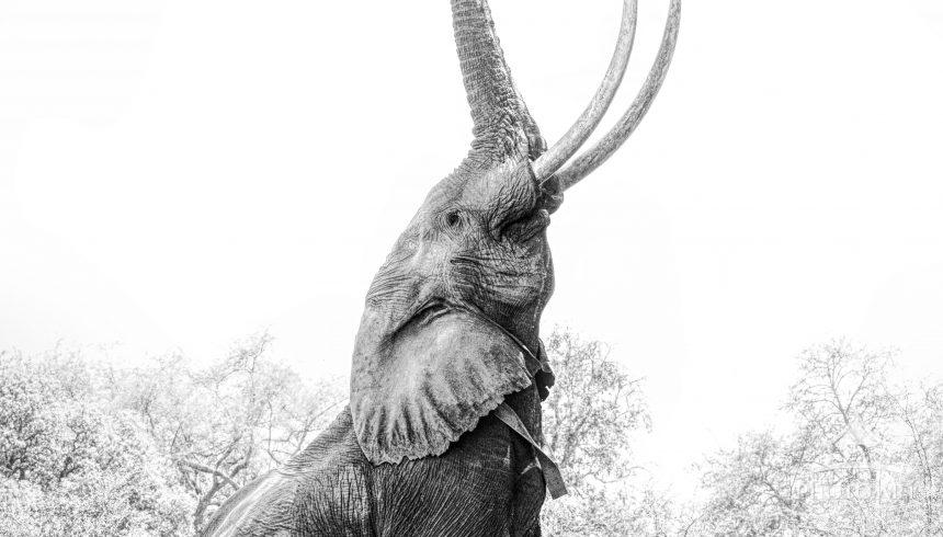 Boswell, a large tusker elephant in Mana Pools, Zimbabwe, reaches up on two feet for the highest