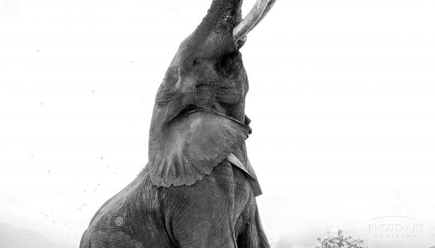 Boswell, a large tusker elephant in Mana Pools, Zimbabwe, appears to dance as he reaches up for a