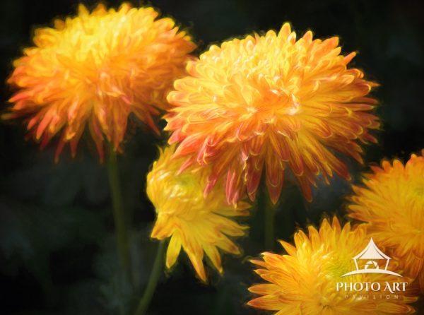 Bright orange chrysanthemums in bloom against deep green background at the Longwood Gardens