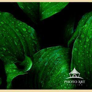 More hosta leaves after rain.