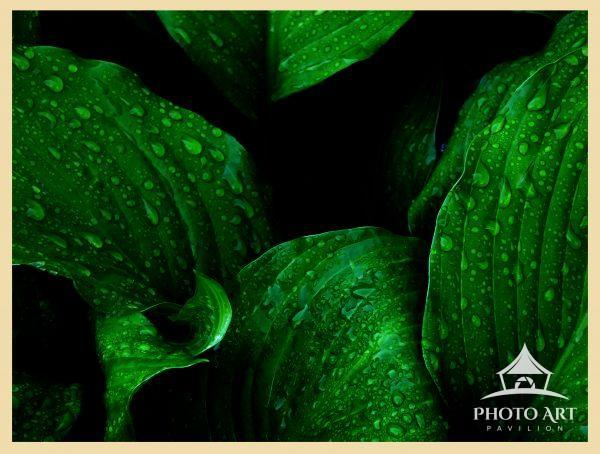 More hosta leaves after rain.