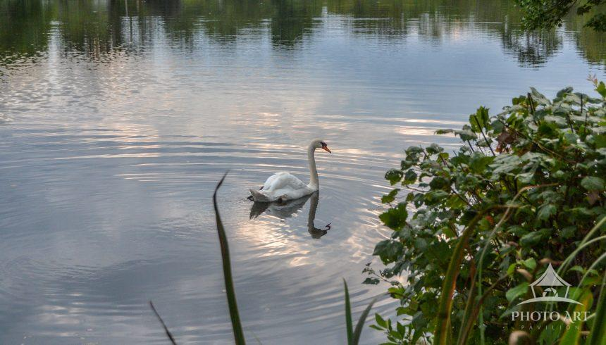 Beautiful view of Lower Cascade Lake in Brightwaters, New York. The swan drifted perfectly into my